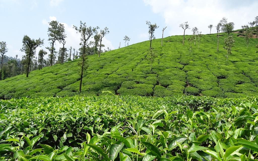Green plantations in Chikmagaluru